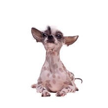 Peruvian Hairless And Chihuahu...