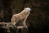 Biały Wilk w lesie - 248844480