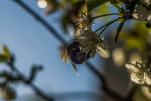 Bumblebee On The Cherry Blossom