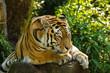 canvas print picture - Sibirischer Tiger (Panthera tigris altaica)