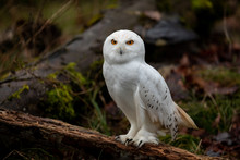 Snowy Owl In The Forest