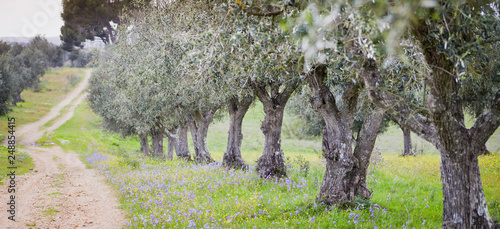 La pose en embrasure Oliviers Olive trees groves - agriculture food production farm, orchard during spring - blooming meadows.