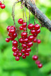 canvas print picture - Red currant ripening on the branch