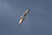 Flying Herring Gull (Larus Arg...