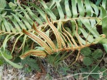 Green Fern Plant With Brown Se...