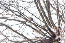 Small Two Tufted Titmice Titmouse Tit Birds Pair Couple Mates Perched On Tree Branch In Virginia Holding Shelling Sunflower Seeds Shells Between Legs Feet