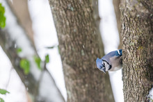 Closeup Of One Blue Jay Cyanoc...