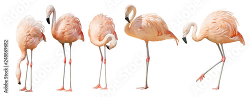 La pose en embrasure Flamingo isolated on white five flamingo