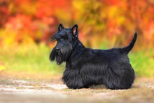 Scottish Terrier Portrait In Fall Landscape