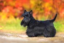 Scottish Terrier Portrait In F...