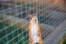 Cute Ginger Squirrel In Zoo. L...