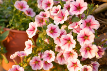 Close Up Petunia Flowers In Th...