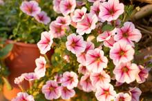 Close Up Petunia Flowers In Th...