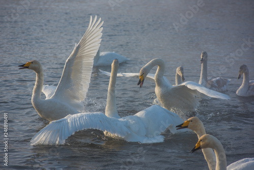 Fotografia  Fighting white whooping swans swimming in the nonfreezing winter lake