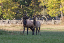 Bull And Cow Elk, Cervus Canad...