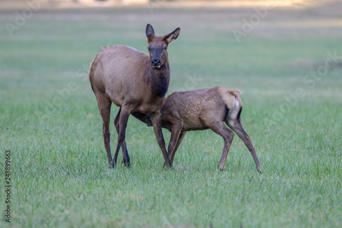 Fotografie, Obraz  Cow elk and calf, Cervus canadensis, Great Smoky Mountains, Cherokee, North Caro
