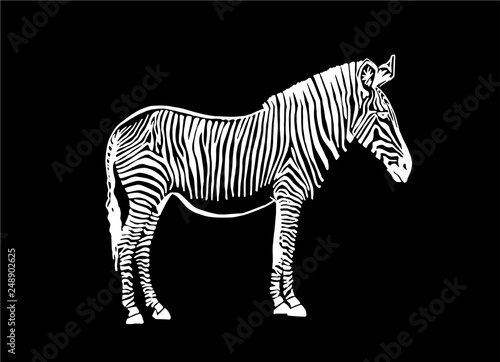 Poster Zebra Graphical zebra standing isolated on black ,vector sketch for tattoo and printing