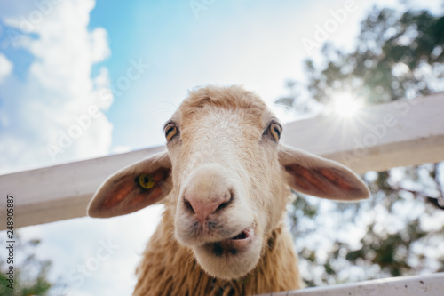 Fotobehang Schapen Funny white sheep portrait looking at the camera in farm