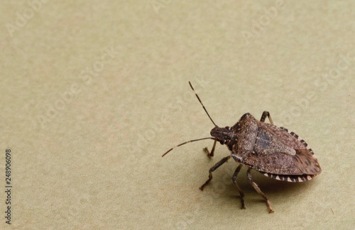 Fotografie, Obraz  Cimice asiatica, Halyomorpha halys,