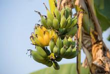 Ripe Bunch Of Bananas On Banan...