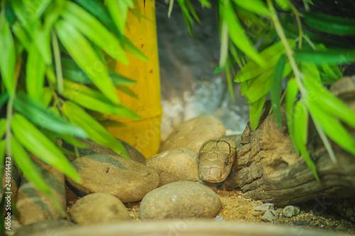 Photo  White king cobra head