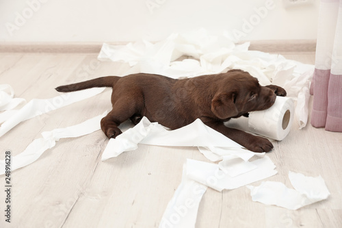 Cute chocolate Labrador Retriever puppy and torn paper on floor indoors Fototapeta