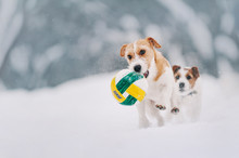 Two Friendly Dogs Is Playing With Ball On White Snow Background