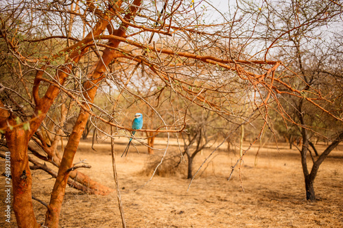Beautiful blue bird sitting on a branch of tree. Wild life in Safari. Baobab and bush jungles in Senegal, Africa. Bandia Reserve. Hot, dry climate