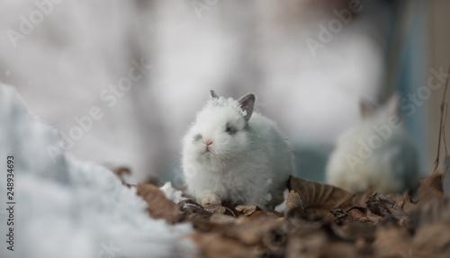 Fotodibond 3D biały królik w zimie
