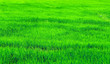Leinwanddruck Bild - Green rice field in a lush agriculture land
