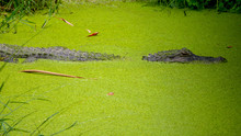 Alligator Resting In Algae Cov...