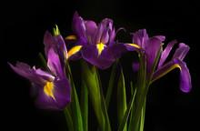 Three Irises On A Black Backgr...