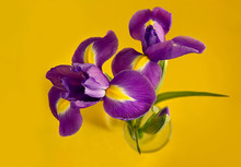 Three Purple Iris On A Yellow Background. Additional Colors. Beautiful Bouquet