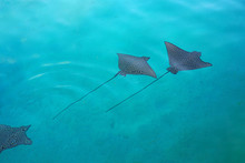 Underwater View Of A School Of Wild Spotted Eagle Ray (Aetobatus Narinari) Fish Swimming In The Bora Bora Lagoon, French Polynesia
