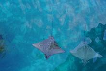 Underwater View Of A School Of Wild Spotted Eagle Ray (Aetobatus Narinari) Fish Swimming In The Bora Bora Lagoon, French Polynesia