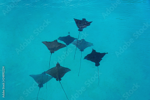 Obraz na płótnie Underwater view of a school of wild Spotted Eagle Ray (Aetobatus narinari) fish