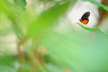The Tiger Longwing (Heliconius...