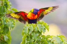 Rainbow Lorikeet With Wings Spread