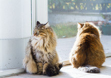 Tabby Pets Of Livestock With Long Hair, Siberian Purebred Cat