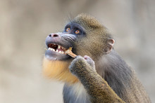 Close-up View Of Young Male Mandrill Eating In Wildlife