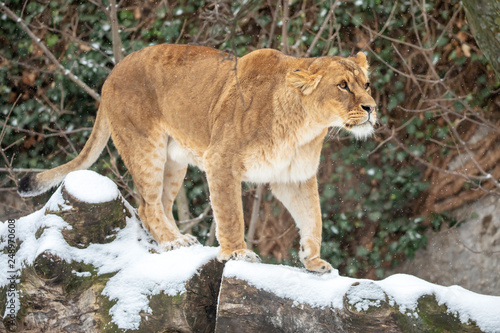 Poster Puma beautiful lioness standing on snow in reserve at winter