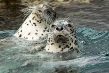 Harbor Seal (Phoca Vitulina); ...