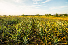 Pineapple Farm6