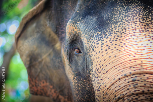 Fotografie, Obraz  Close up head with sad eye of albino elephant chained.