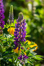 Lupinus Flowers Are Bright With Green Foliage Nature