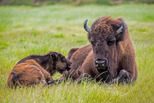 An Adult Bison Lies In Grass With Her Baby.