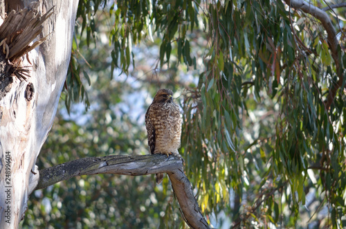 Hawk perched in eucalyptus tree Canvas Print