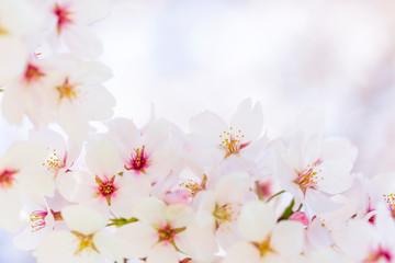 Naklejka Florystyczny 桜
