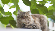 Persian Cats Living In The Garden.