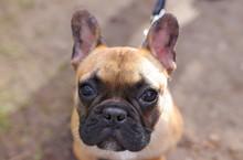 Close Up Of Adorable French Bulldog Morning Walk At Park
